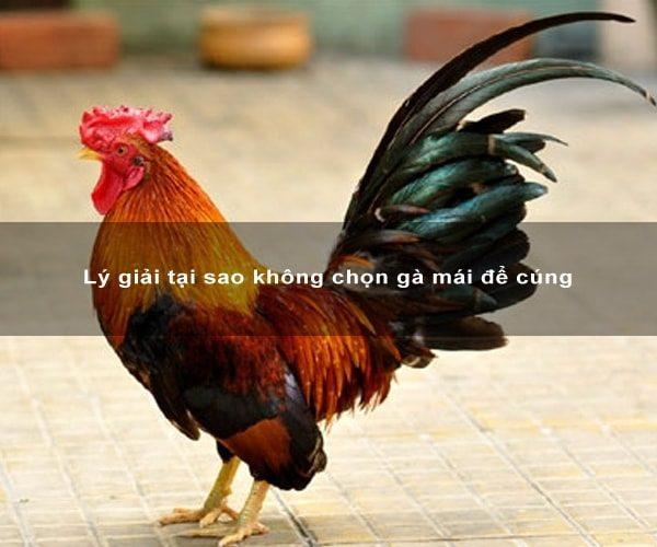 Lý giải tại sao không chọn gà mái để cúng